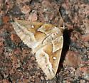 moth - Caripeta angustiorata - male