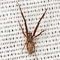 Spider - Uloborus - male