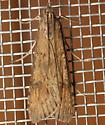 Lucerne-esque moth - Nomophila nearctica