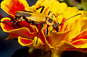 happy in the marigolds - Chauliognathus pensylvanicus
