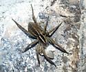 spider - Rabidosa santrita