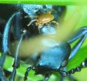 mite on Meloe blister beetle