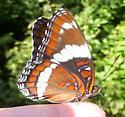Limenitis arthemis arthemis - Limenitis arthemis - female