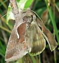 Common Looper Moth - Anagrapha falcifera