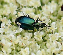 Lebia viridis