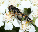 small syrphid fly - Syritta pipiens