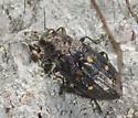 and two Buprestids - Phaenops lecontei