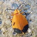 Lycus arizonensis? - Lycus arizonensis