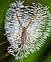 Juvenile Black-and-Yellow Argiope  - Argiope aurantia - female