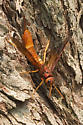 That is not wasp or is it? - Tremex columba