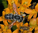Bee on butterfly weed - Megachile
