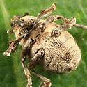 small weevil - Nedyus apicalis