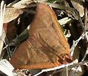 Reddish-brown moth - Uresiphita reversalis