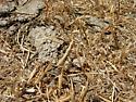 camo mantid - Litaneutria obscura - male