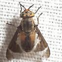 Deer Fly - Chrysops dorsovittatus - female