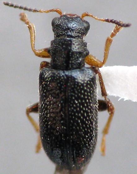 Cleridae - Zeugophora