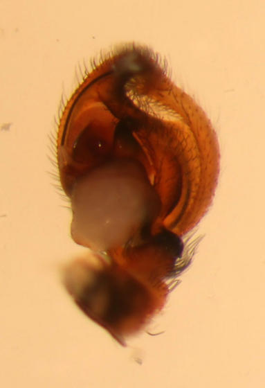 Ventral palp - Marpissa obtusa - male