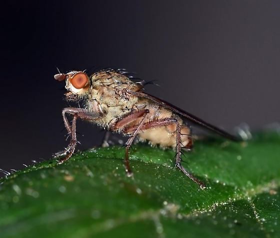fly, sp - Scathophaga