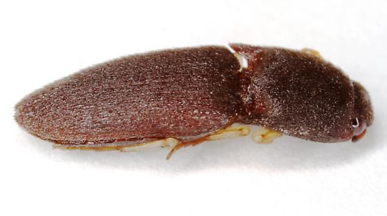 Elateridae - Heteroderes amplicollis