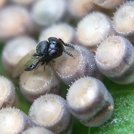 Very tiny wasp...  - Telenomus