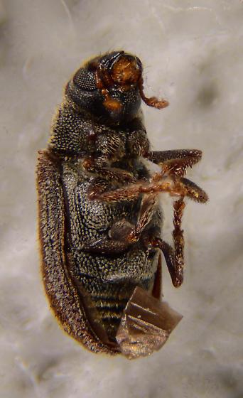 Hylesinini? - Pseudohylesinus nebulosus