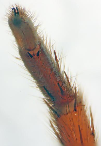 Strange amaurobioid - leg 3 ventral scopulae - Teminius affinis - female