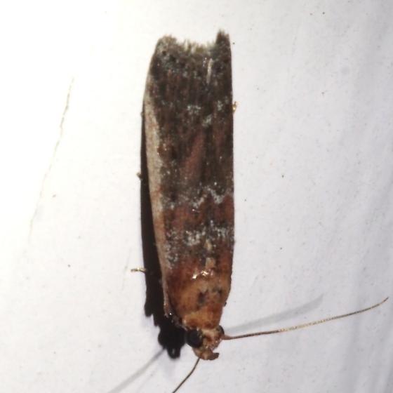 5890 – Adelphia petrella ? - Adelphia petrella