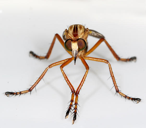 Diogmites - Diogmites angustipennis - female