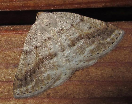 Unknown Moth - Tacparia detersata