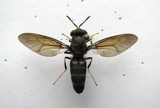 Mydas Fly? - Hermetia illucens