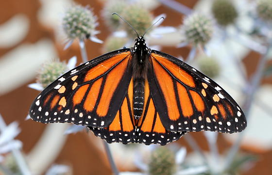 Monarch caterpillar - Danaus plexippus - female