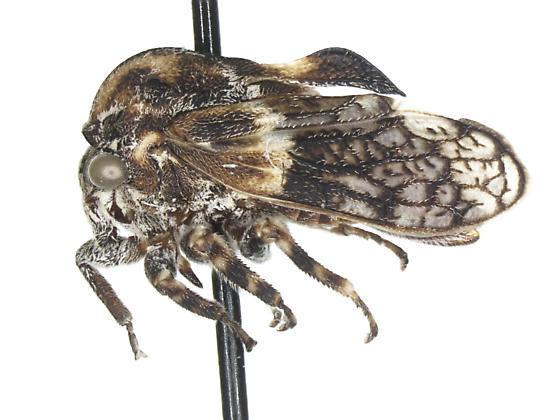 Tylocentrus reticulatus