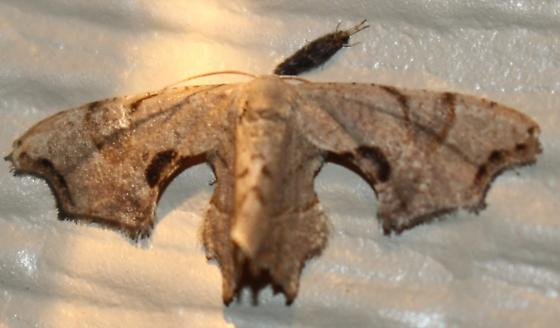Brown Scoopwing - Hodges#7653 - Calledapteryx dryopterata