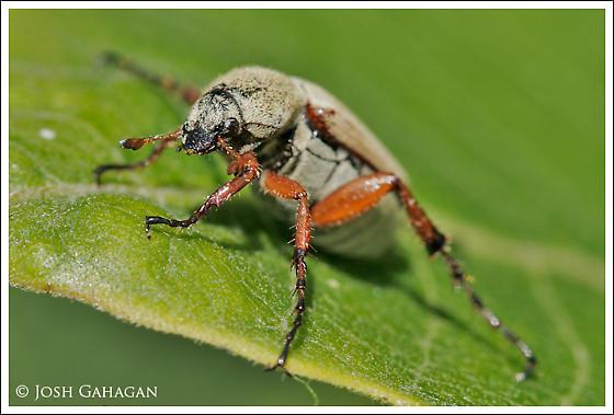 Chafer? - Macrodactylus