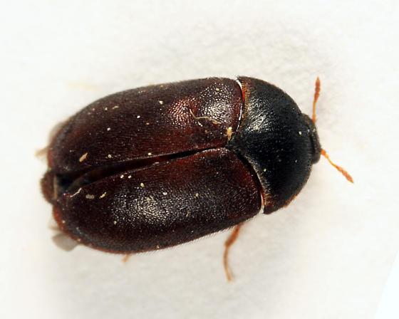 Black Carpet Beetle - Attagenus unicolor - female