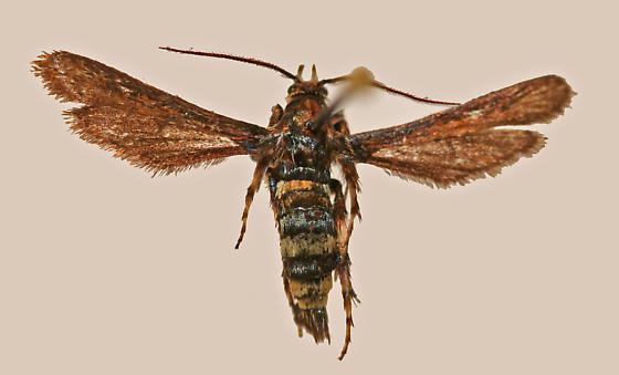 Zenodoxus heucherae Henry Edwards - Zenodoxus heucherae - male