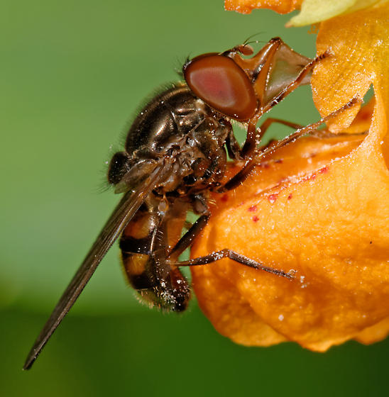 syrphid with a snozz - Rhingia nasica - male
