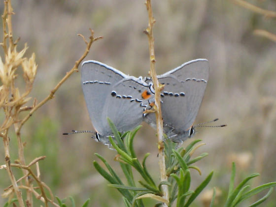 Gray Hairstreak - Strymon melinus - male - female