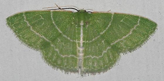 Wavy-lined Emerald - Synchlora aerata - female
