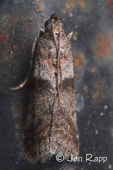 Striped Sumac Leafroller - Sciota subfuscella