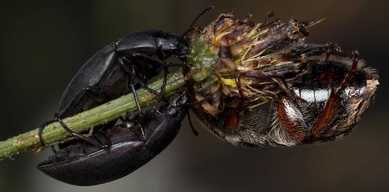 Euphoria leucographa hanging out with Lobometopon? - Euphoria leucographa