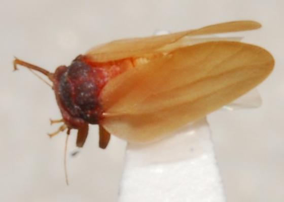 Manzanita Psyllid - Neophyllura bicolor