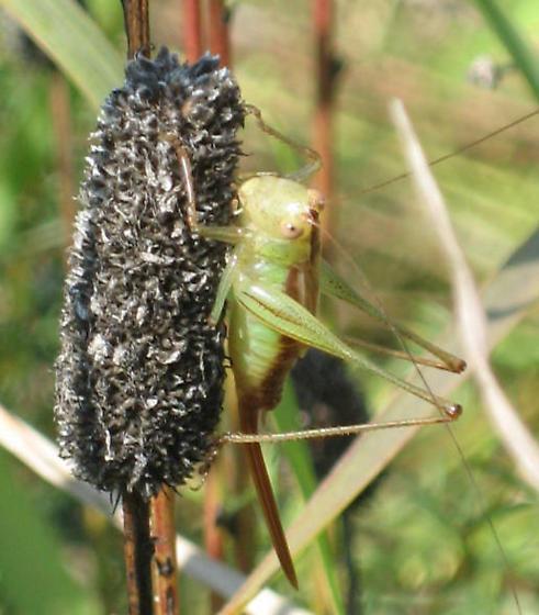 Katydid maybe - Conocephalus brevipennis - female
