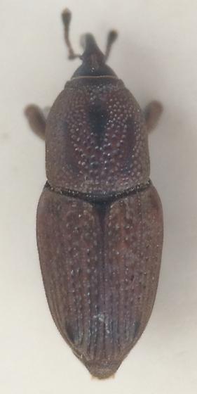 Sphenophorus - Sphenophorus venatus