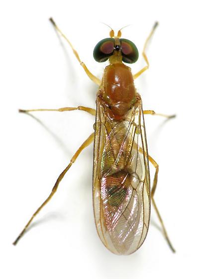 Yellow Fly On The Doorframe - Ptecticus trivittatus