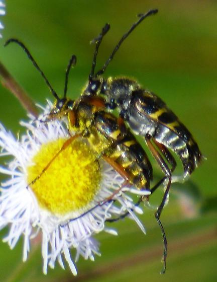 Beetles mating on flower - Typocerus zebra - male - female