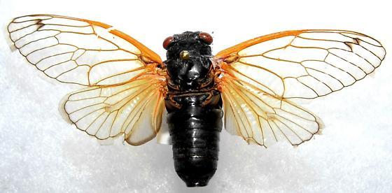 Periodical Cicada - Magicicada