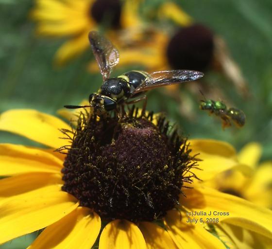 Soldier Fly - Hoplitimyia constans