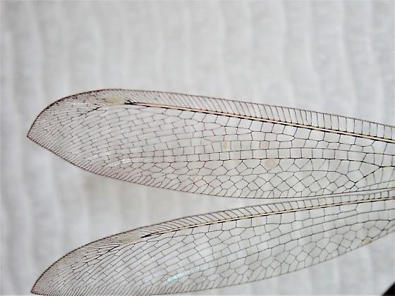 Myrmeleon immaculatus - Myrmeleon