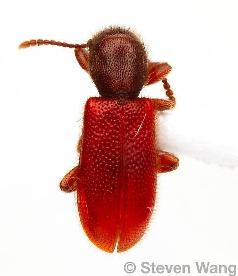 Zenodosus sanguineus